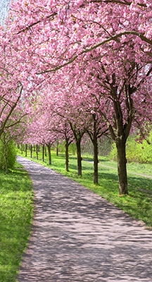Cherry Blossom Road (Photo Backdrop)